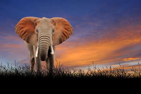 contra el elefante en el fondo de cielo del atardecer