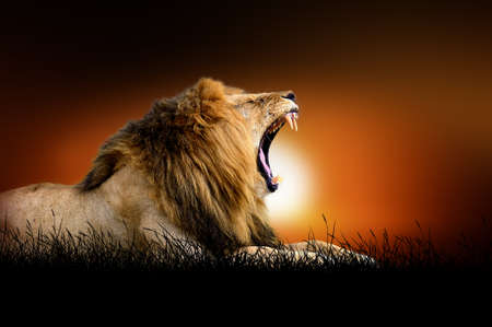 majestic: Lion against on the background of african sunset