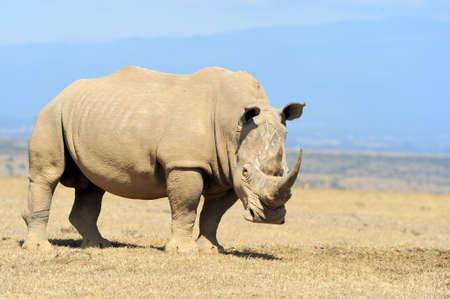 African white rhino, National park of Kenya 스톡 콘텐츠
