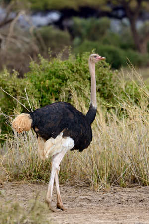 struthio camelus: Male of African ostrich (Struthio camelus) in National reserve park of Kenya Stock Photo
