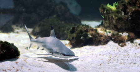 sea  scuba diving: Whitetip reef shark (Triaenodon obesus) in the coral reef