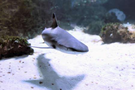 dangerous reef: Whitetip reef shark (Triaenodon obesus) in the coral reef