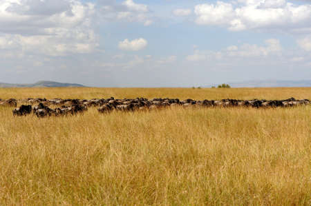 wildebeest: Wildebeest in National park of Kenya, Africa Stock Photo