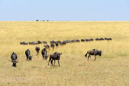 taurinus: Wildebeest in National park of Kenya, Africa Stock Photo