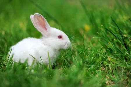 Bebé conejo blanco en la primavera de fondo verde hierba