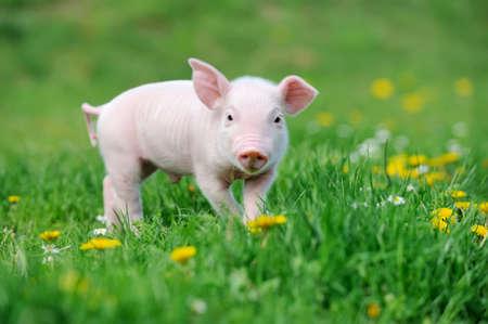 Jonge grappige varken op een lente groen gras Stockfoto - 57827120