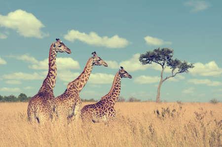 big head: Group giraffe in National park of Kenya, Africa