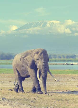 kilimanjaro: Elephant in National park of Kenya on Kilimanjaro mount background, Africa