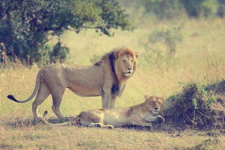 male portrait: Close-up lion in National park of Kenya, Africa