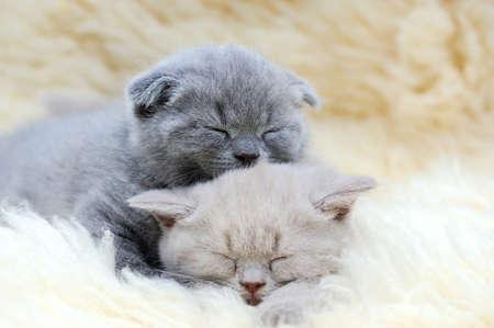 white blanket: Cute little gray kitten sleeps on fur white blanket