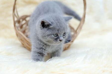 white blanket: Little kitten sitting in the basket on white blanket Stock Photo