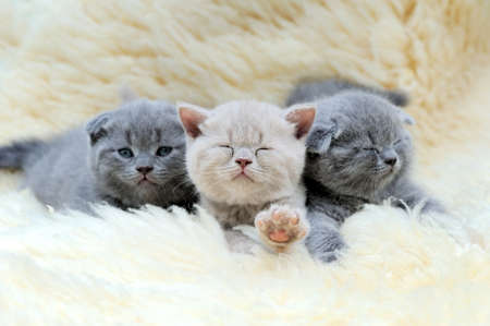 Close three funny little gray kitten on white blanket