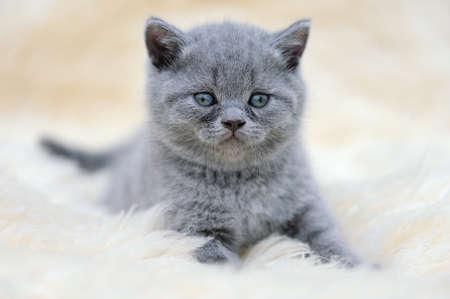 white blanket: Close funny little gray kitten on white blanket Stock Photo