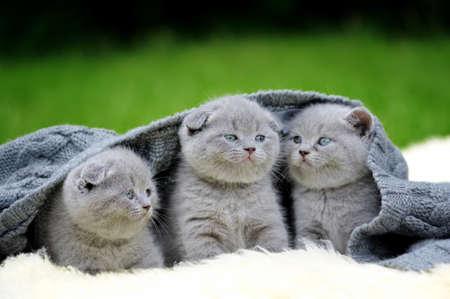 white blanket: Three cute gray kitten on fur white blanket on nature