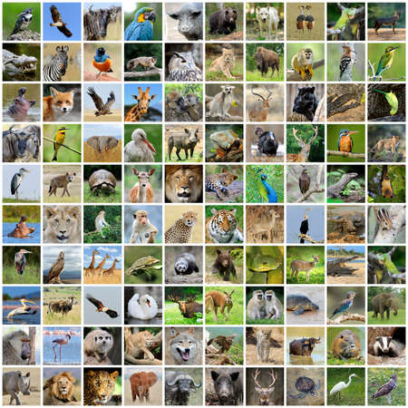 Collage of 100 photos of wildlife. Animals and birds