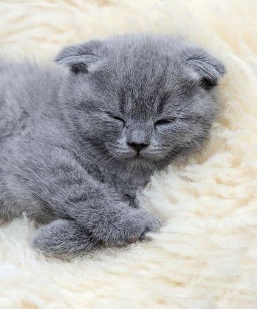 white blanket: Close funny little gray kitten sleep on white blanket