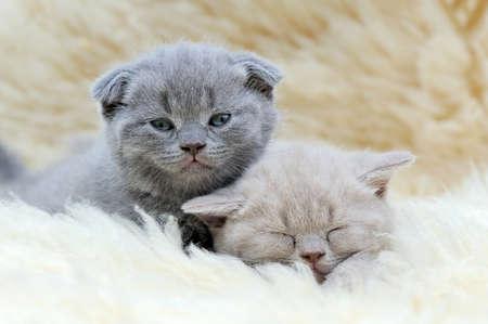 white blanket: Close two funny little gray kitten on white blanket Stock Photo
