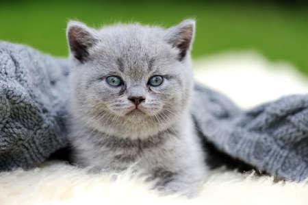white blanket: Cute gray kitten on fur white blanket on nature