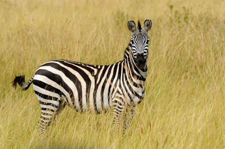 burchell: Zebra on grassland in National park of Africa