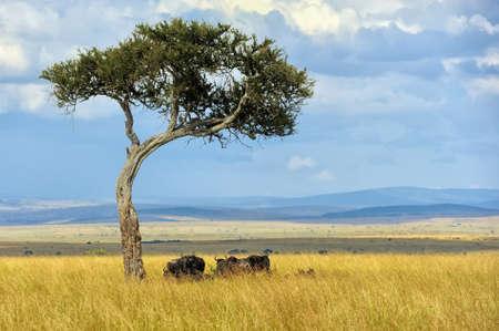 tanzania antelope: Wildebeest in savannah, National park of Kenya, Africa Stock Photo