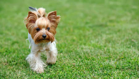 lapdog: Close Yorkshire Terrier dog in green summer grass Stock Photo