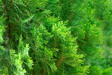 Thuja verde seto textura vista de primer plano Foto de archivo - 60133176