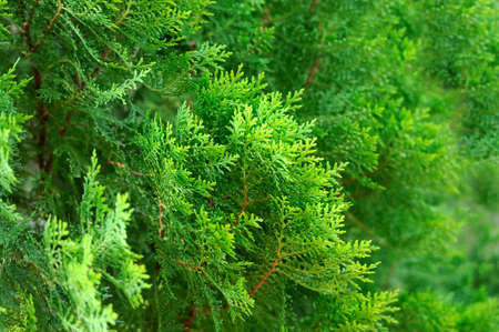 Green Thuja hedge texture close-up view