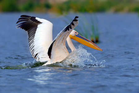 Great white pelican flying over the lake, Kenya, Africa Stock Photo