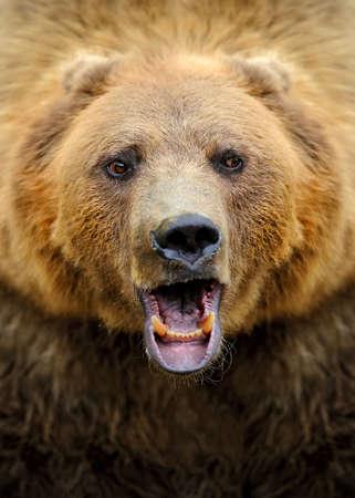 arctos: Brown bear (Ursus arctos) portrait in forest Stock Photo