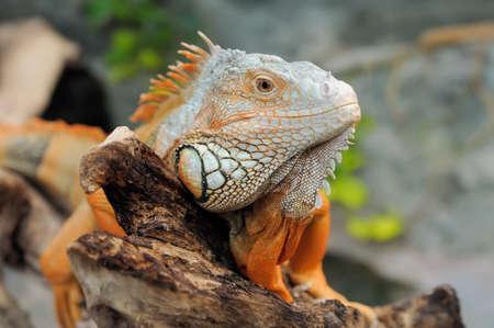 Close-up of a multi-colored male Green Iguana Stock Photo