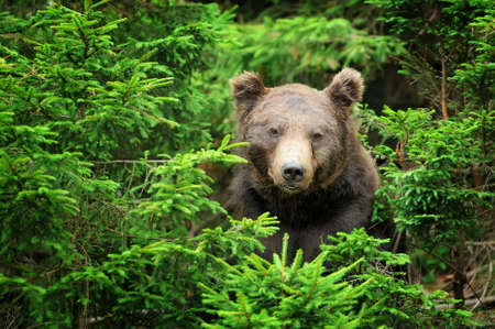 male killer: Big brown bear (Ursus arctos) in the environment