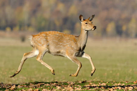 Close-up young whitetail deer standing in autumn day Stock Photo