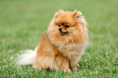 Close brown pomeranian dog in green summer grass