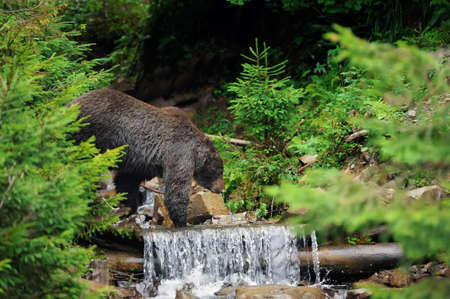 arctos: Big brown bear in river. Brown bear (Ursus arctos) in water