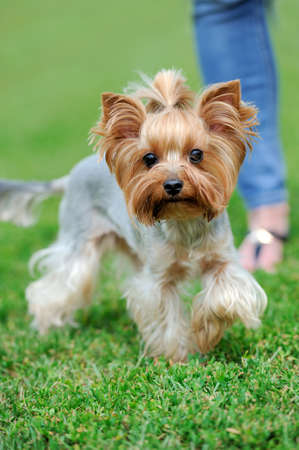 Close Yorkshire Terrier dog in green summer grass Stock Photo
