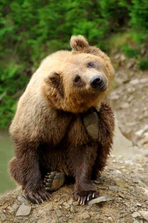 arctos: Big brown bear (Ursus arctos) in the environment