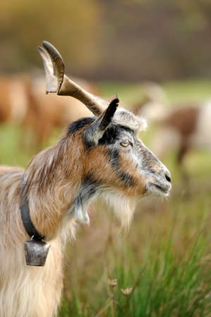 Close-up nobody goat in mountain. Autumn season Stock Photo