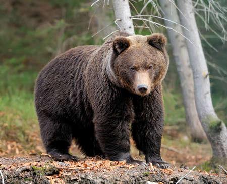 Big brown bear (Ursus arctos) in the forest 写真素材