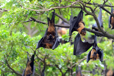 genitali: Black flying-foxes (Pteropus alecto) hanging in a tree Archivio Fotografico