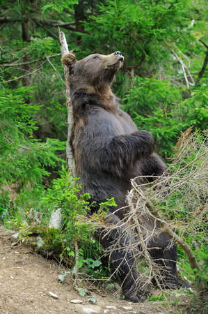 Brown bear (Ursus arctos) scratch back on the the tree trunk in the forest
