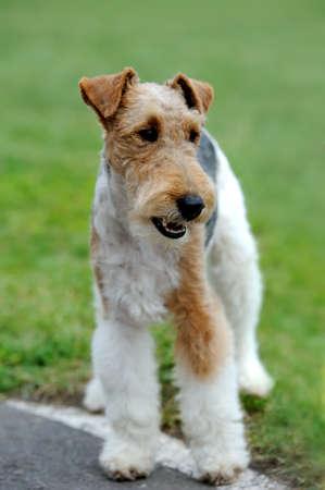 Close Fox Terrier dog in green summer grass