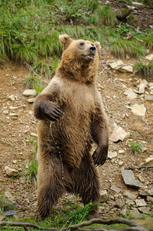 European brown bear (Ursus arctos) is standing up Stock Photo