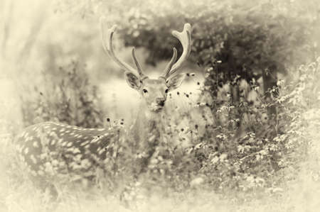 virginianus: Whitetail Deer standing in summer wood. Vintage effect
