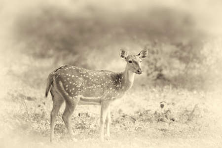 Wild Spotted deer in Yala National park, Sri Lanka. Vintage effect Stock Photo