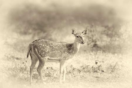 spotted fur: Wild Spotted deer in Yala National park, Sri Lanka. Vintage effect Stock Photo