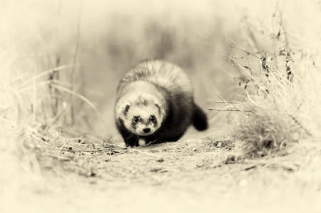 stoat: Close wild polecat in forest. Vintage effect Stock Photo