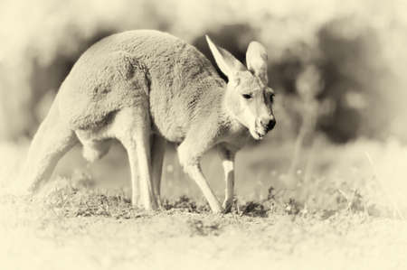 roo: Close up young kangaroo in nature. Vintage effect Stock Photo