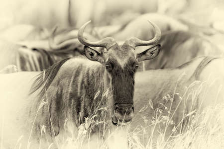 Wildebeest in savannah, National park of Kenya, Africa. Vintage effect