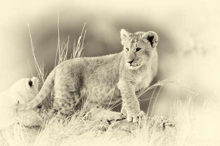 lion cub: African Lion cub, (Panthera leo), National park of Kenya, Africa. Vintage effect