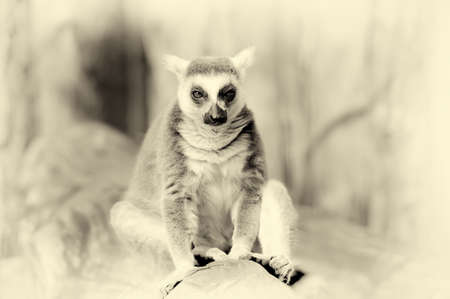ring tailed: Ring tailed lemur on a branch. Vintage effect Stock Photo